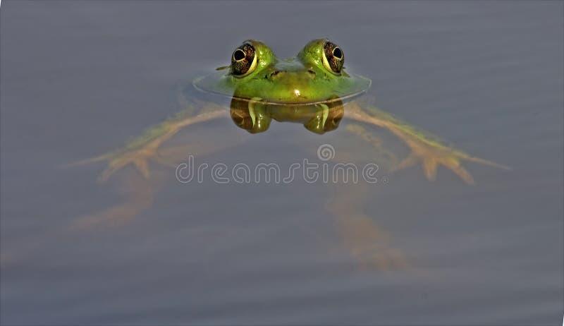 byk spławowa żaba relaksująca fotografia royalty free