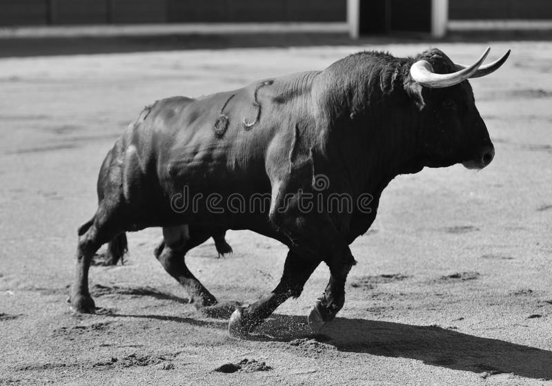 Byk w bullfighting pierścionku zdjęcie royalty free