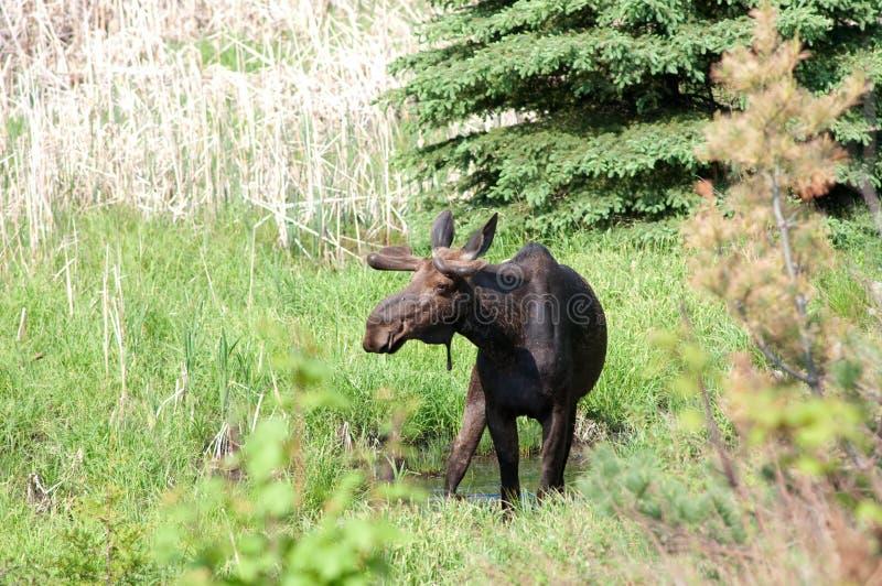 byka łoś amerykański wiosna zdjęcia stock