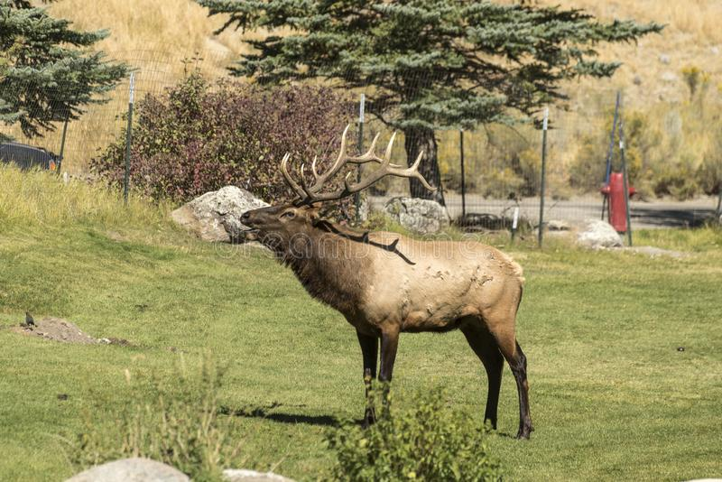 Byka łoś dzwoni jego haremu w Mamutowych Gorących wiosnach Yellowstone fotografia royalty free