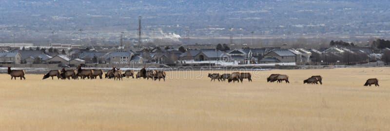 Byka łoś jego stado harem na Baccus autostradzie Westside z widokiem Salt Lake dolina i Wasatch Frontowe Skaliste góry w zdjęcia stock