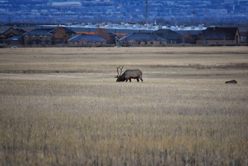 Byka łoś jego stado harem na Baccus autostradzie Westside z widokiem Salt Lake dolina i Wasatch Frontowe Skaliste góry w zdjęcie stock
