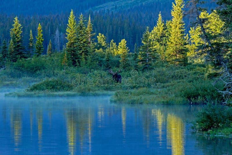 Byka łosia amerykańskiego pozycja Przy The Edge jezioro zdjęcia royalty free