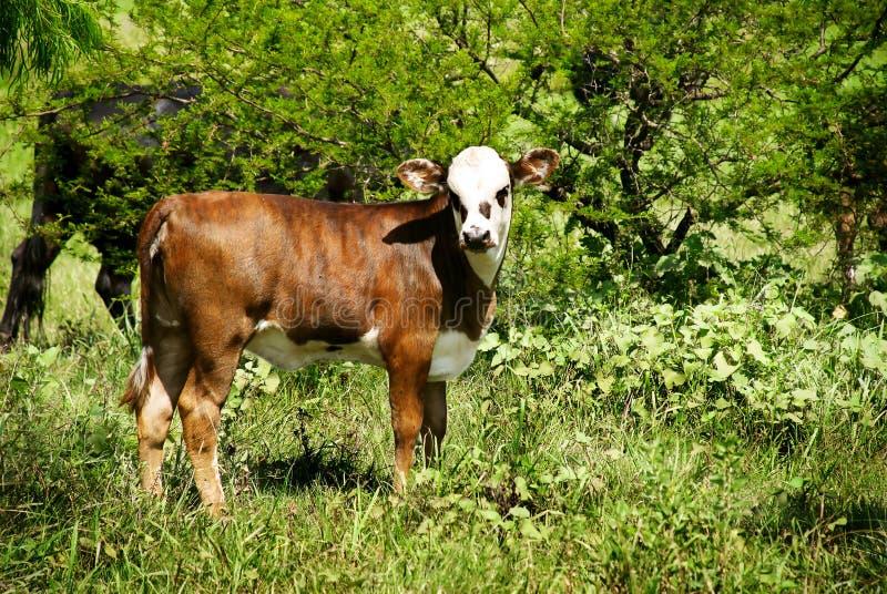 byka calfe trawa zdjęcia royalty free