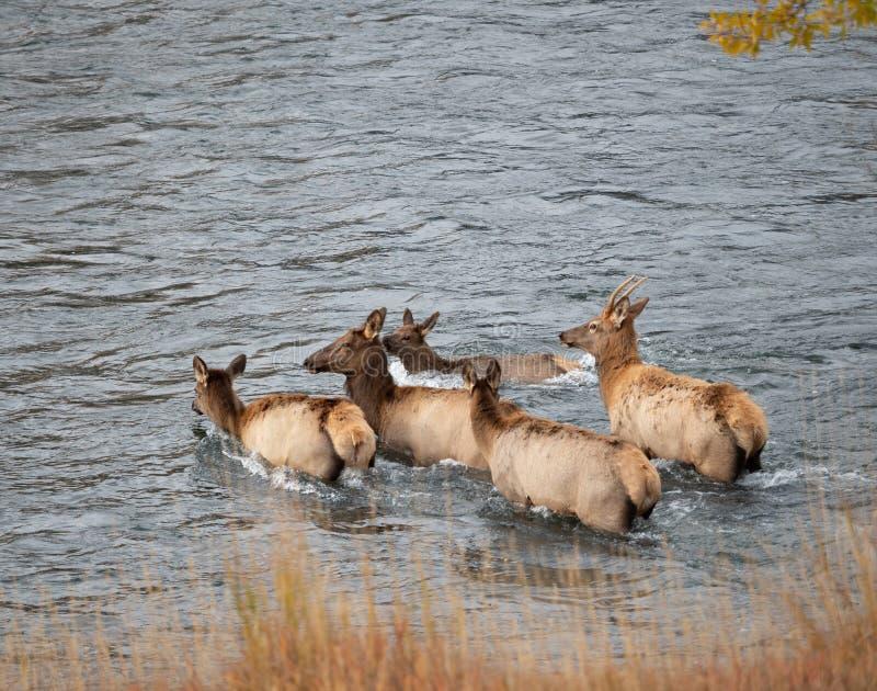 Byka i krowy łoś Krzyżuje rzekę zdjęcia royalty free