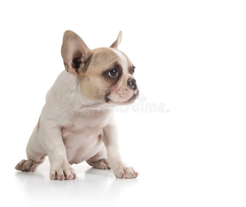 byka psia przyglądająca szczeniaka strona obrazy royalty free