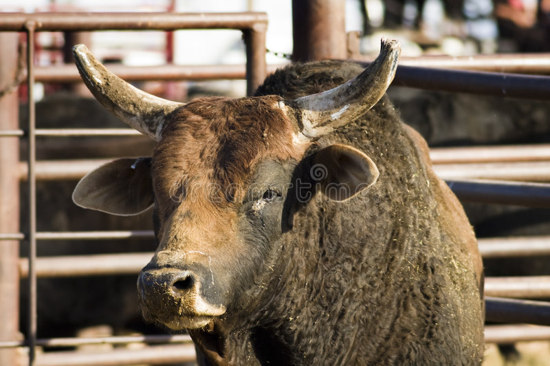 byka rodeo zdjęcia royalty free