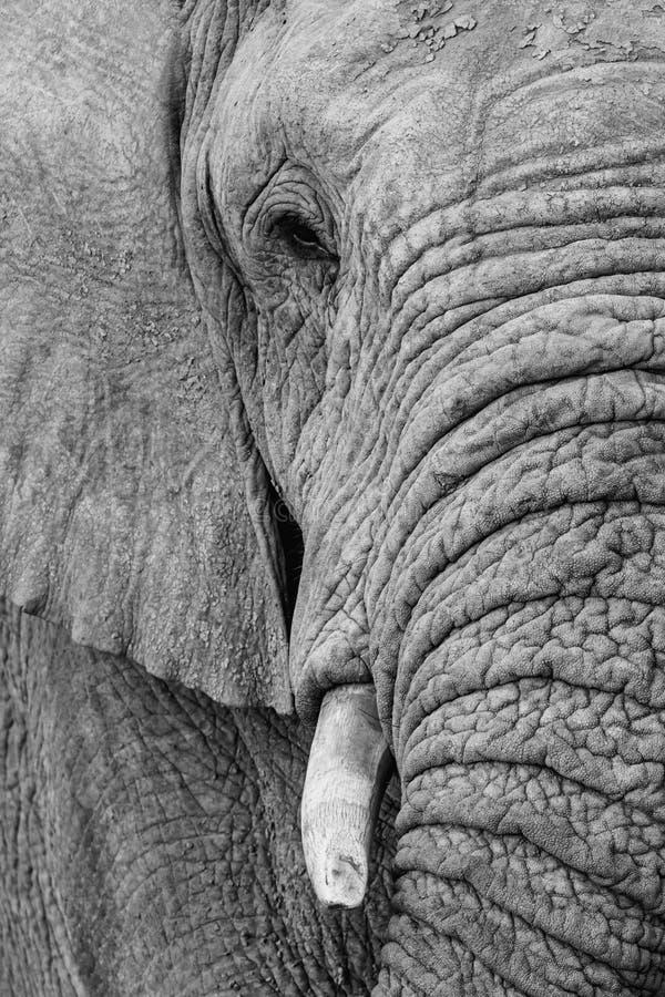 Byka s?o? w Po?udniowa Afryka fotografia stock