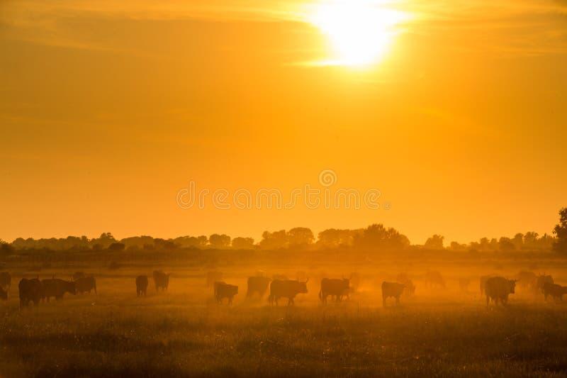 Byki biega przez pole w świetle słońca zdjęcia stock