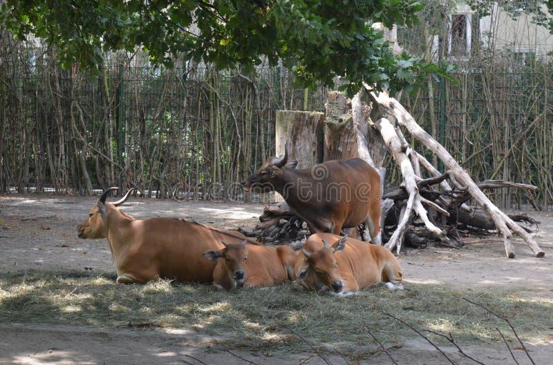 Byki i krowy w zoo Drezdeński Niemcy obrazy stock