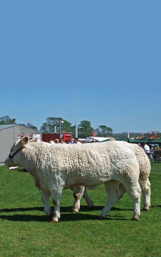 Byki przy rolniczym przedstawieniem z niebieskim niebem dla teksta kopiuj? zdjęcia stock