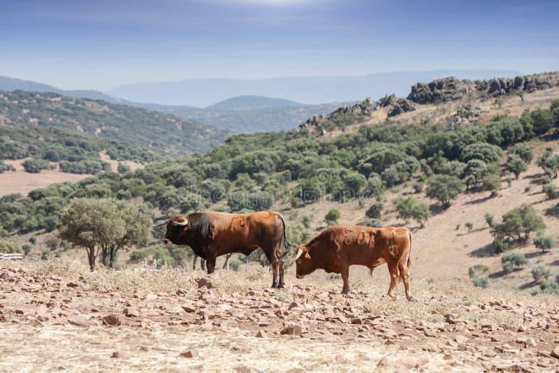 Byki w wsi, Andalusia fotografia stock