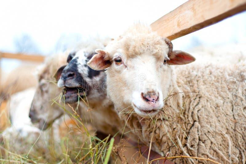 Byre Schafe, die Gras und Heu mit der Menge auf einem ländlichen Bauernhof essen lizenzfreies stockfoto