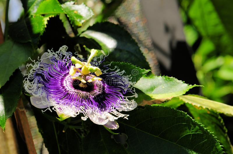 `Byron Beauty` passiflora. A passion flower or passion vine in Butterfly World, South Florida stock image