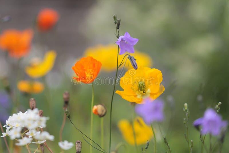 bystre kwiaty zdjęcia royalty free