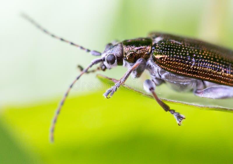 Byturidae, colpo estremo del parassita brillante variopinto macro fotografia stock