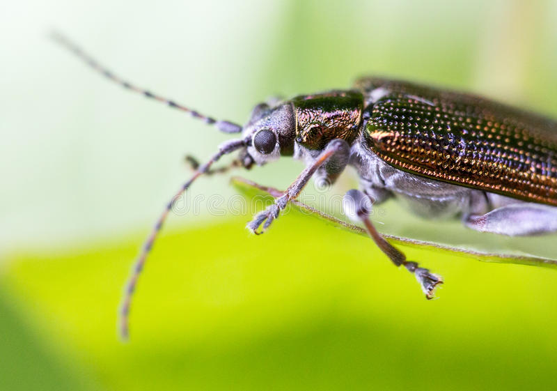 Byturidae, tiro macro extremo do parasita brilhante colorido fotografia de stock