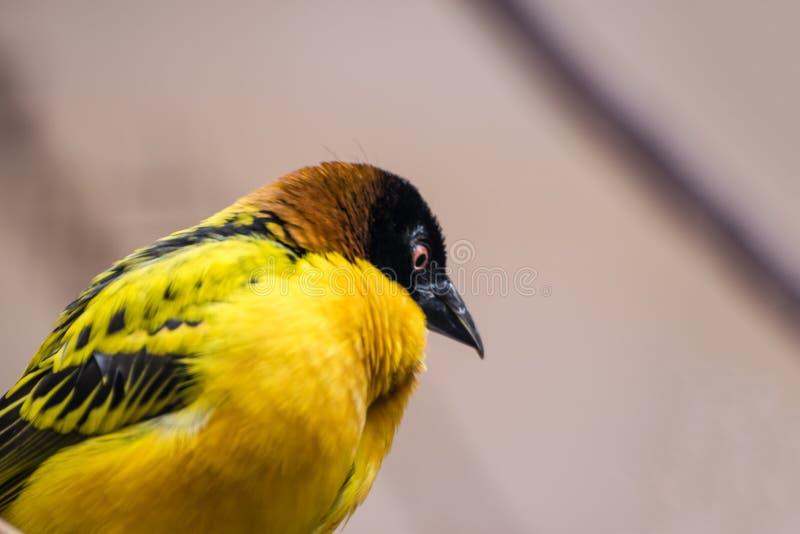 Byvävarefåglar Ploceuscucullatus royaltyfri bild