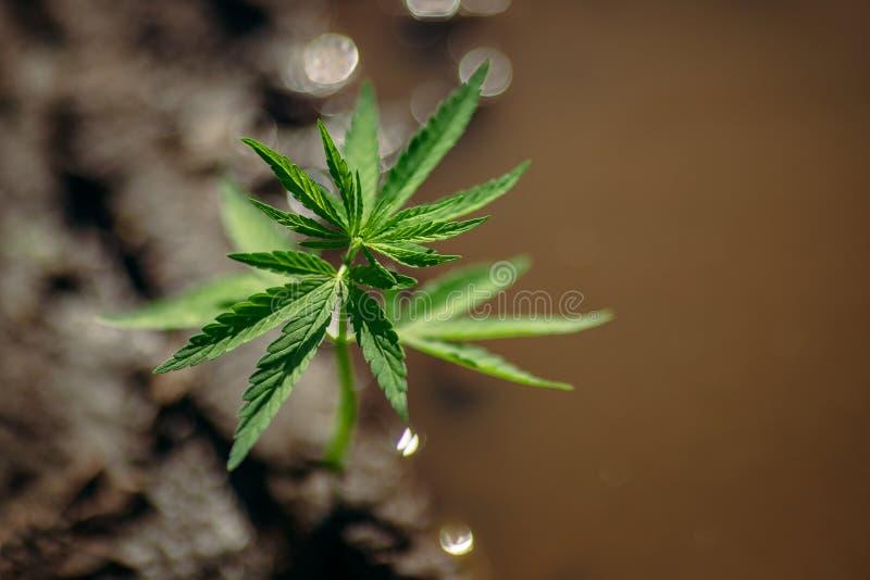 Cáñamo de la marijuana de Bush en fondo borroso en la puesta del sol Hierba del concepto en granja fotos de archivo libres de regalías