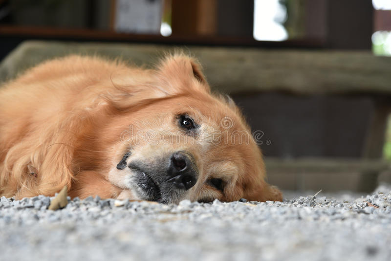 Cámara de mirada fría del perro del golden retriever en que miente en la tierra imágenes de archivo libres de regalías