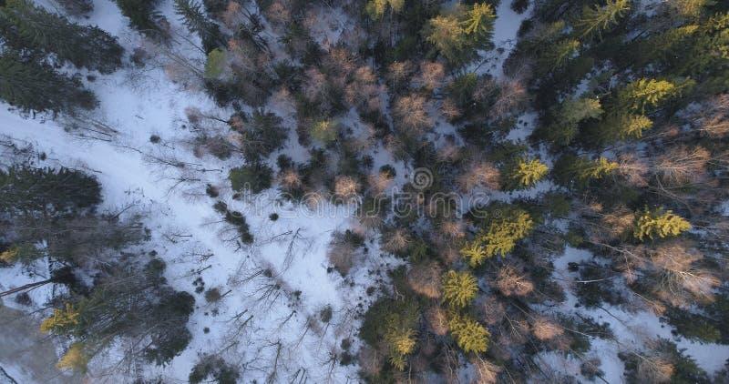 Cámara que mira el plumón recto sobre bosque del abeto del invierno en puesta del sol fotografía de archivo