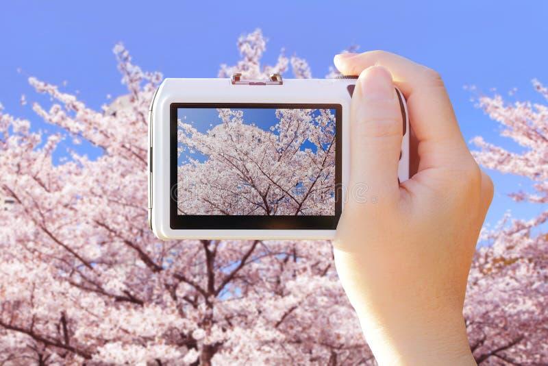Cámara que toma la foto con las flores de cerezo foto de archivo
