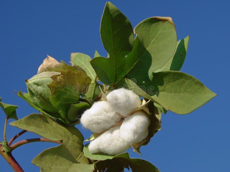 Cápsula do algodão imagens de stock
