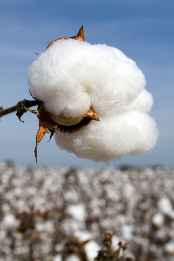 Cápsula lista del algodón de la cosecha imágenes de archivo libres de regalías