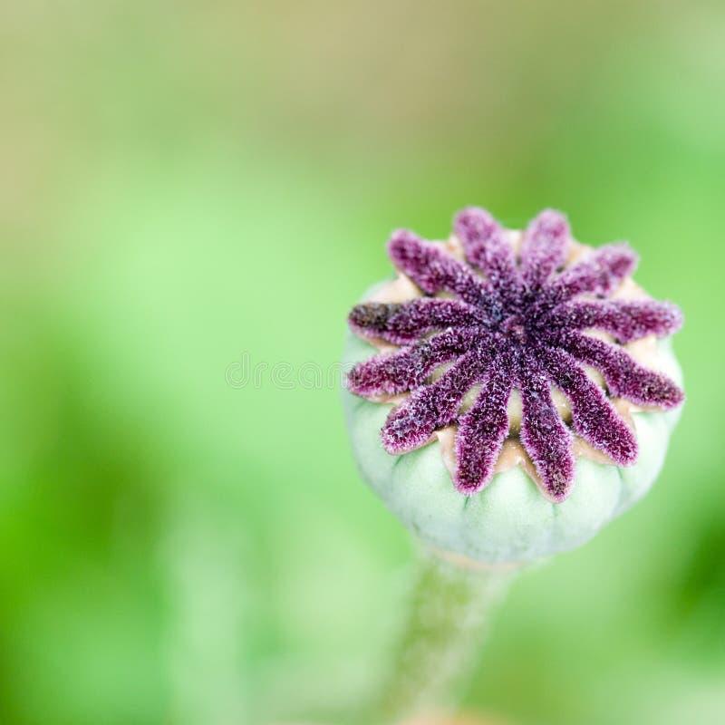 Cápsulas da semente na flor da papoila imagem de stock