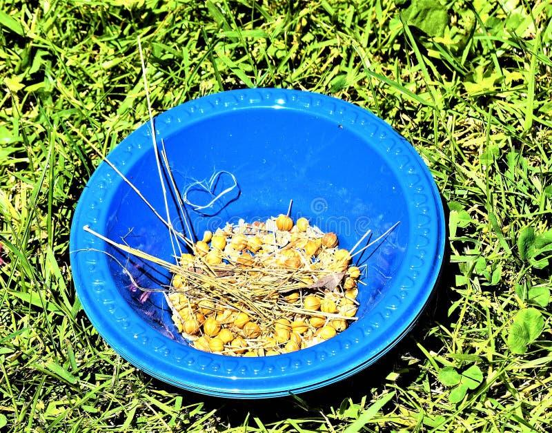 Cápsulas de la semilla de lino de la planta del lino en cuenco azul imágenes de archivo libres de regalías