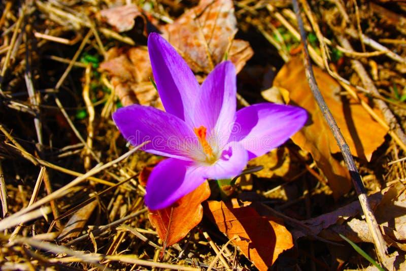 Cártamo, uma planta roxa reconhecível porque é similar à flor falsificada do açafrão imagens de stock royalty free