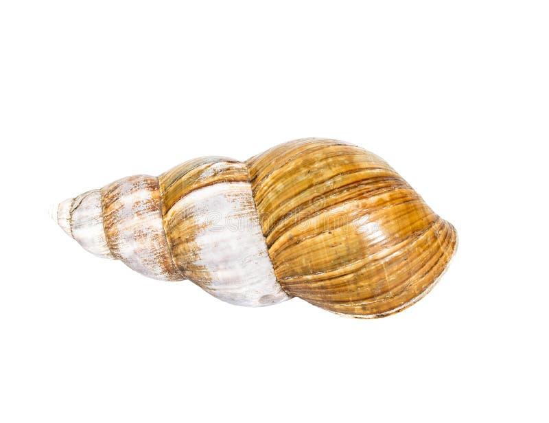 Cáscara de concha de peregrino del ahaatin aislada en el fondo blanco foto de archivo