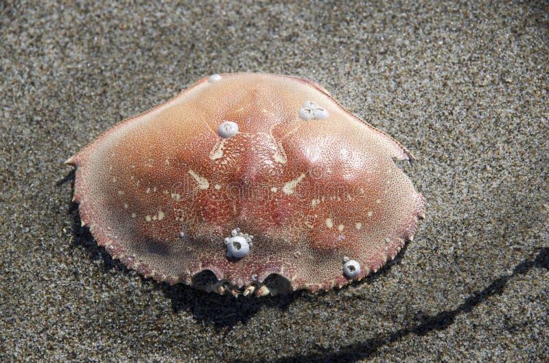 Cáscara del cangrejo en la playa fina de la arena imágenes de archivo libres de regalías