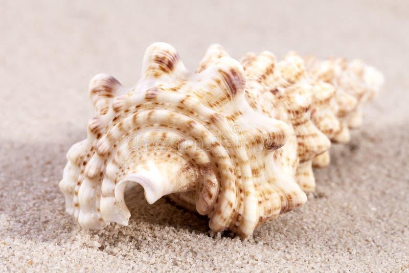 Cáscara del mar del caracol del taladro que miente en la arena, cierre para arriba foto de archivo