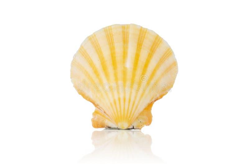 Cáscara del mar del molusco aislada en blanco fotografía de archivo
