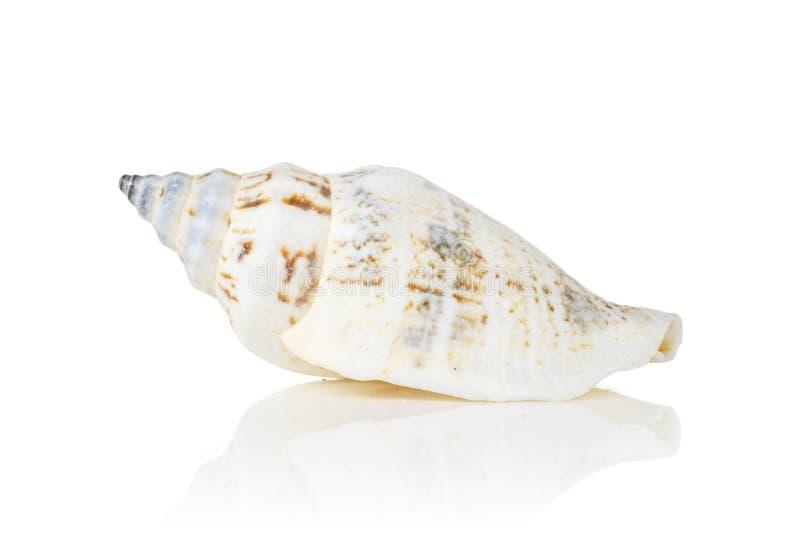 Cáscara del mar del molusco aislada en blanco fotos de archivo libres de regalías