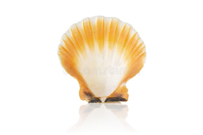 Cáscara del mar del molusco aislada en blanco fotografía de archivo libre de regalías