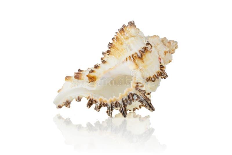 Cáscara del mar del molusco aislada en blanco imagen de archivo