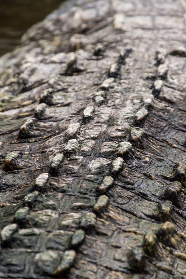 Cáscara trasera de las cáscaras duras del croc salvaje del cocodrilo fotos de archivo libres de regalías