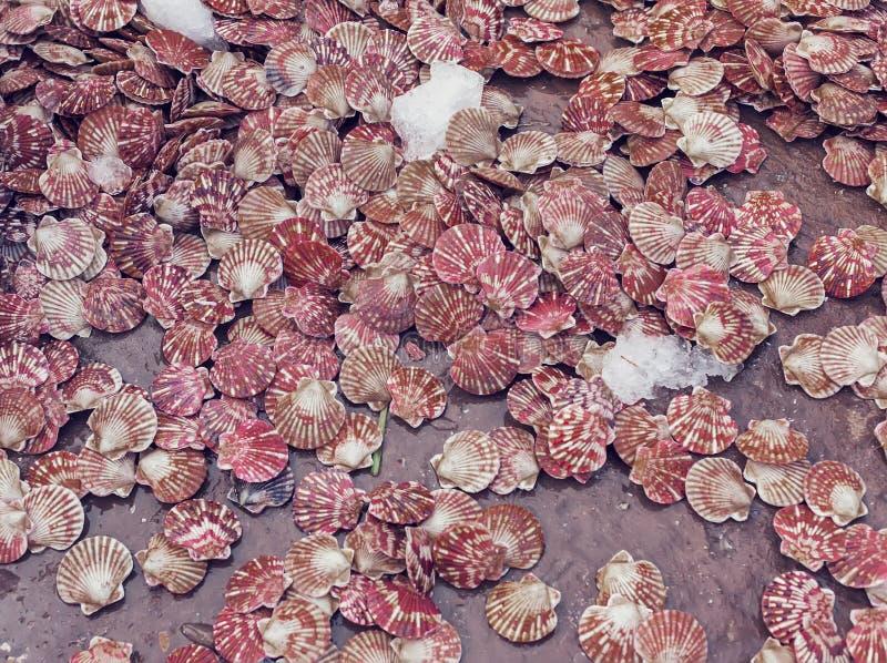Cáscaras de conchas de peregrino frescas imagen de archivo libre de regalías