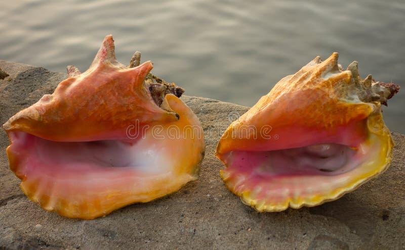 Cáscaras de la concha en el Caribe imagen de archivo
