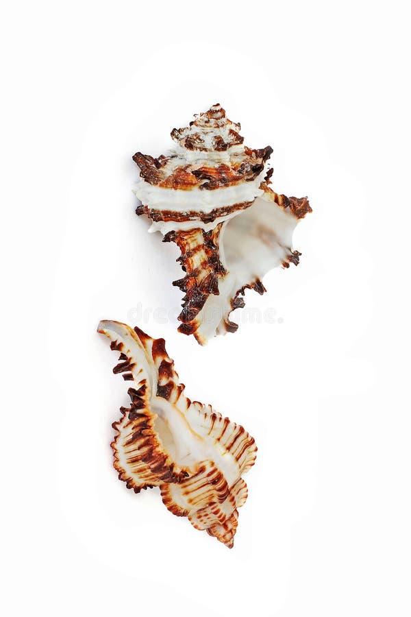 Cáscaras de la concha Habitantes del mar Naturaleza magnífica Seashells en un fondo blanco imagenes de archivo