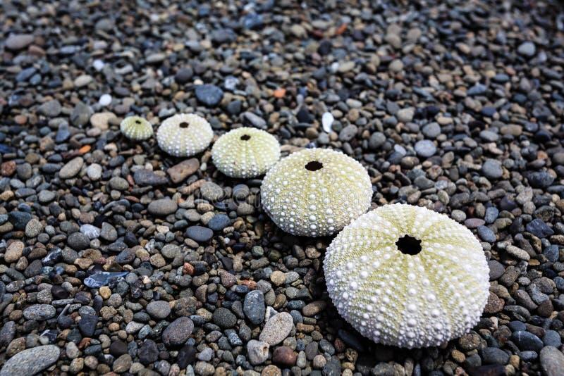 5 cáscaras del erizo de mar arreglaron en una línea en Pebble Beach fotos de archivo
