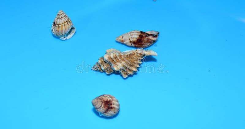Cáscaras del mar en el agua con el fondo azul imagen de archivo libre de regalías