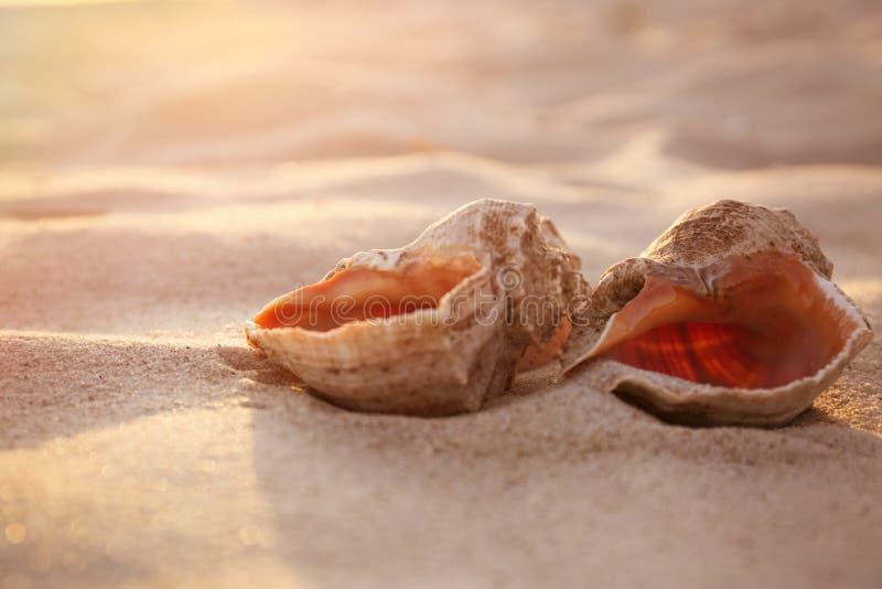 Cáscaras hermosas en la playa arenosa fotos de archivo libres de regalías