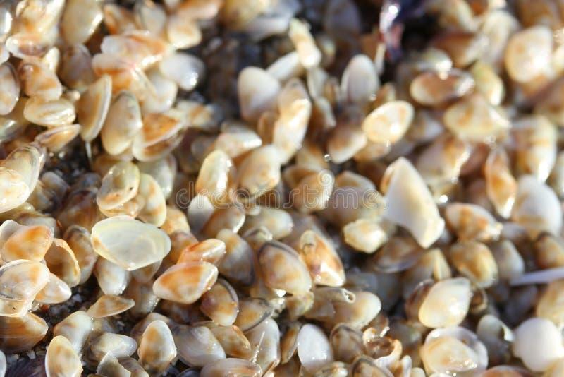 Cáscaras minúsculas del telline en la playa del mar fotografía de archivo