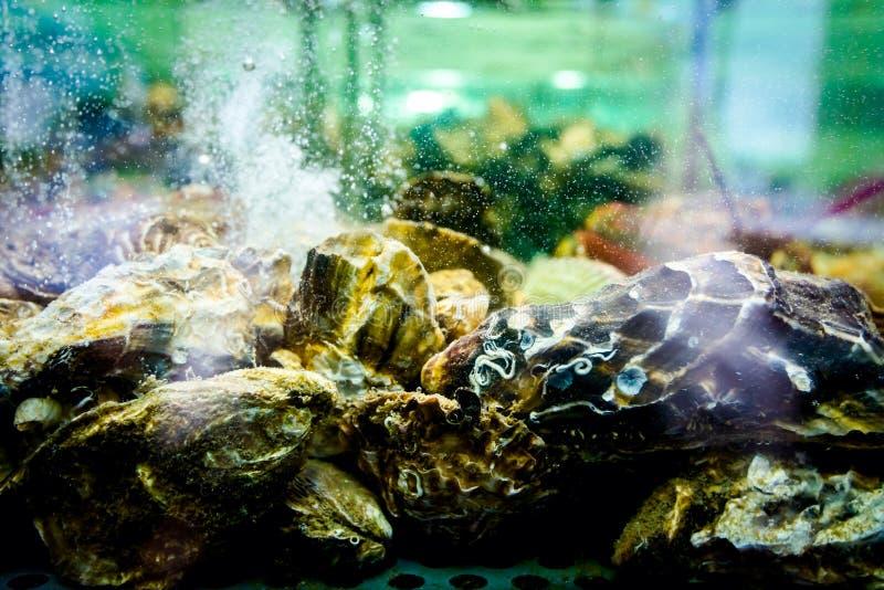 Cáscaras, ostras para la venta, almejas del mar dentro del acuario en un restaur imagenes de archivo