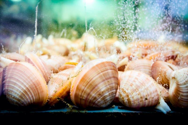 Cáscaras para la venta, almejas del mar dentro del acuario en un restaurante imagen de archivo libre de regalías