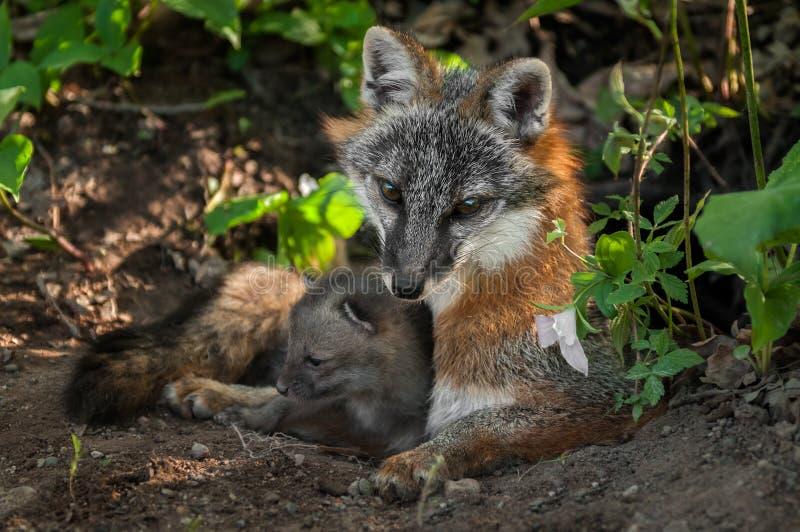 Câlin de Grey Fox Vixen et de kit (cinereoargenteus d'Urocyon) dans le repaire E image stock
