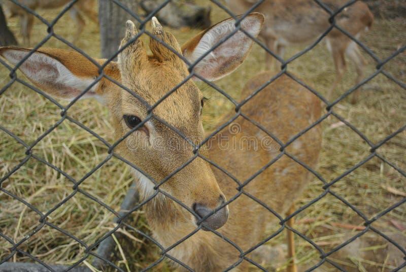 Câmera bonito pequena olhar fixamente dos cervos através da gaiola da rede de arame foto de stock